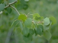 Populus_tremuloides_leaves_RMP.jpg